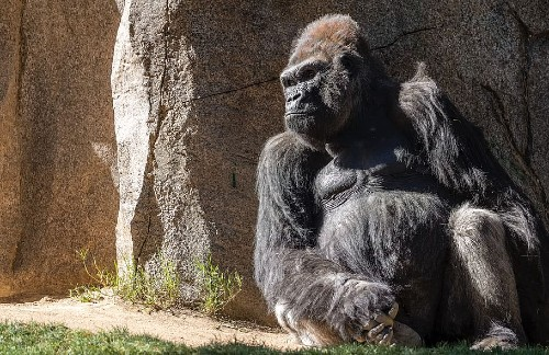 A gorilla sitting and leaning against a wall in the sun